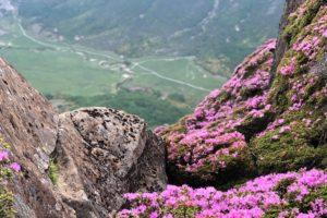 ブログ更新:平治岳のミヤマキリシマ